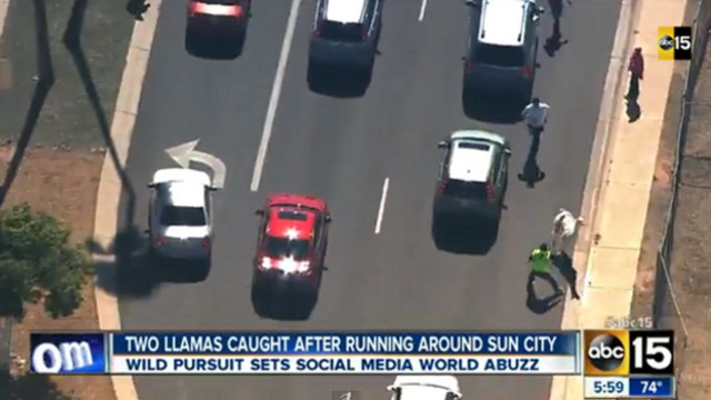 Two Llamas on the Lam Caught Near Phoenix