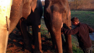 Elephants Keep Truck Upright After Crash