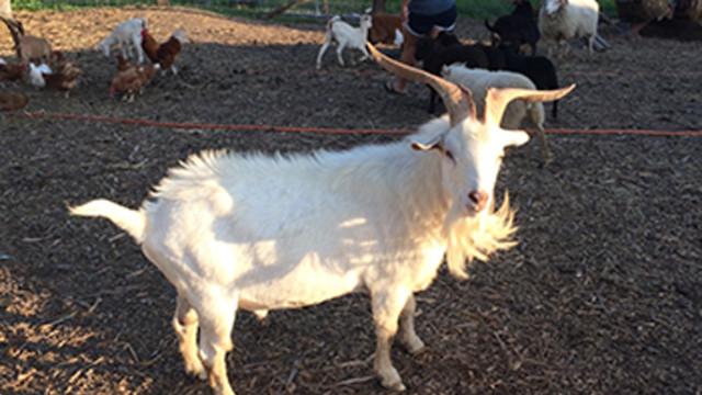 goat 598c735a96d57