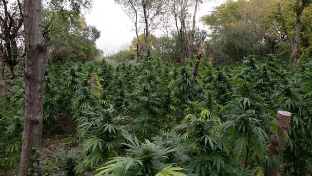 Marijuana plants are seen in Chicago.jpg_10798217.jpg