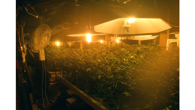 an indoor marijuana growing operation raided by police.jpg_10824384.jpg