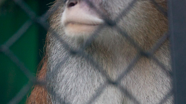 A Patas monkey looks out of his cage at Zoo Boise.jpg_10831098.jpg