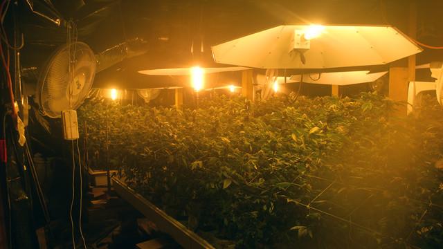 an indoor marijuana growing operation raided by police.jpg_10824384.jpg